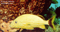 Image of Haemulon sciurus (Bluestriped grunt)