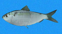 Image of Harengula thrissina (Pacific flatiron herring)