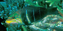 Image of Hemigymnus fasciatus (Barred thicklip)