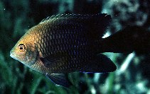 Image of Hemiglyphidodon plagiometopon (Lagoon damselfish)