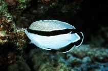 Image of Apolemichthys arcuatus (Bandit angelfish)