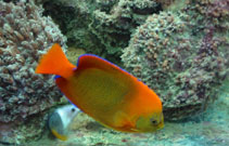 Image of Holacanthus clarionensis (Clarion angelfish)