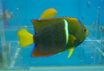 Image of Holacanthus passer (King angelfish)