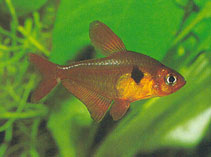 Image of Hyphessobrycon sweglesi (Red phantom tetra)
