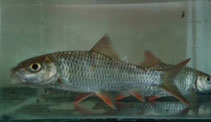 Image of Puntius thomassi (Red Canarese barb)