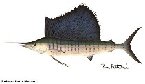 Image of Istiophorus platypterus (Indo-Pacific sailfish)