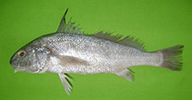 Image of Johnius amblycephalus (Bearded croaker)