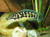 Image of Julidochromis transcriptus (Masked julie)