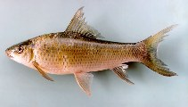 Image of Labeo erythropterus