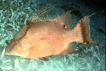 Image of Lachnolaimus maximus (Hogfish)