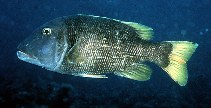 Image of Lethrinus erythracanthus (Orange-spotted emperor)
