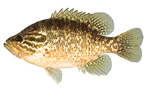 Image of Lepomis gulosus (Warmouth)