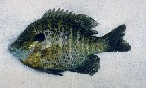 Image of Lepomis macrochirus (Bluegill)
