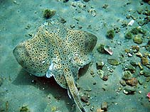 Image of Leucoraja ocellata (Winter skate)