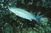 Image of Chelon auratus (Golden grey mullet)