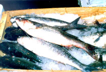 Image of Chelon ramada (Thinlip grey mullet)