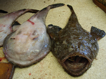 Image of Lophius vomerinus (Devil anglerfish)