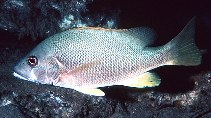 Image of Lutjanus jocu (Dog snapper)