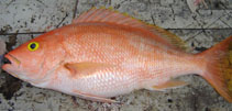 Image of Lutjanus vivanus (Silk snapper)