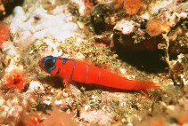 Image of Lythrypnus dalli (Bluebanded goby)