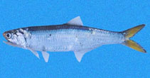 Image of Lycengraulis poeyi (Pacific sabretooth anchovy)