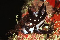 Image of Macolor macularis (Midnight snapper)