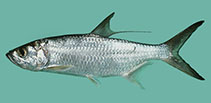 Image of Megalops cyprinoides (Indo-Pacific tarpon)