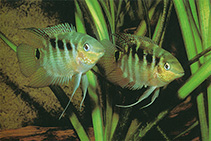 Image of Mesonauta festivus (Flag cichlid)