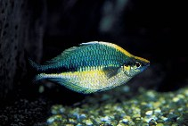 Image of Melanotaenia lacustris (Lake Kutubu rainbowfish)