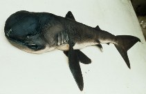 Image of Megachasma pelagios (Megamouth shark)