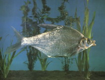 Image of Megalobrama terminalis (Black Amur bream)