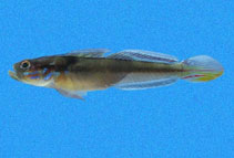 Image of Microgobius emblematicus (Emblem goby)