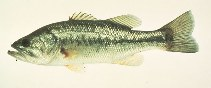 Image of Micropterus salmoides (Largemouth black bass)