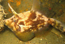 Image of Monacanthus chinensis (Fan-bellied leatherjacket)