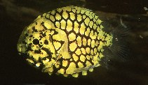 Image of Monocentris japonica (Pineconefish)