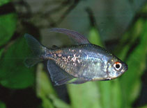 Image of Moenkhausia pittieri (Diamond tetra)