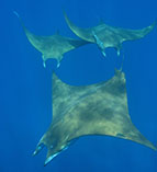 Image of Mobula tarapacana (Chilean devil ray)