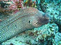 Image of Muraena pavonina (Whitespot moray)