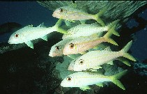 Image of Mulloidichthys vanicolensis (Yellowfin goatfish)