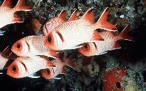 Image of Myripristis botche (Blacktip soldierfish)