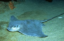 Image of Myliobatis californica (Bat eagle ray)