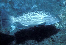Image of Mycteroperca xenarcha (Broomtail grouper)