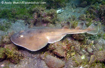 Image of Narcine entemedor (Giant electric ray)