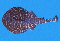 Image of Narcine vermiculatus (Vermiculate electric ray)