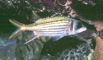 Image of Neoniphon argenteus (Clearfin squirrelfish)