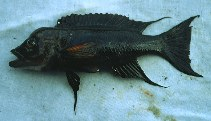 Image of Neolamprologus furcifer