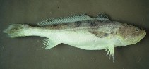 Image of Nebris microps (Smalleye croaker)