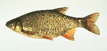 Image of Notemigonus crysoleucas (Golden shiner)