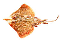 Image of Orbiraja powelli (Indian ring skate)