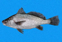 Image of Ophioscion scierus (Point-Tuza croaker)